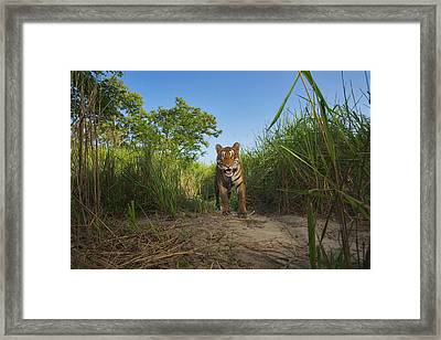 A Protected Tiger In Kaziranga National Framed Print by Steve Winter