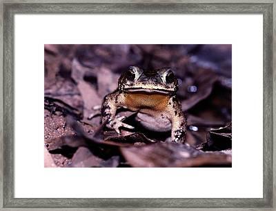 A Rain Forest Toad Of The Family Framed Print by Mattias Klum
