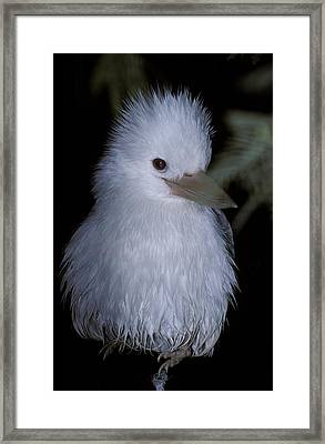 A Rare Albino Kookaburra With White Framed Print by Jason Edwards