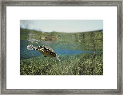 A Rare Suwannee Cooter Swims Framed Print by Bill Curtsinger