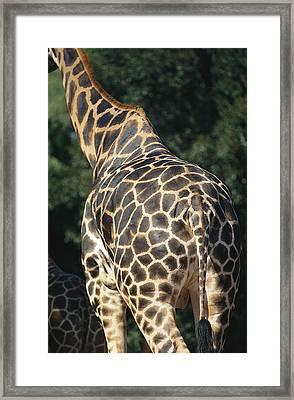 A Rear View Of A Rothschild Giraffe Framed Print by Nick Caloyianis