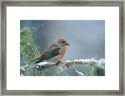 A Red Crossbill Loxia Curvirostra Framed Print by Michael S. Quinton