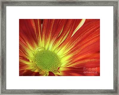 A Red Daisy Framed Print by Sabrina L Ryan