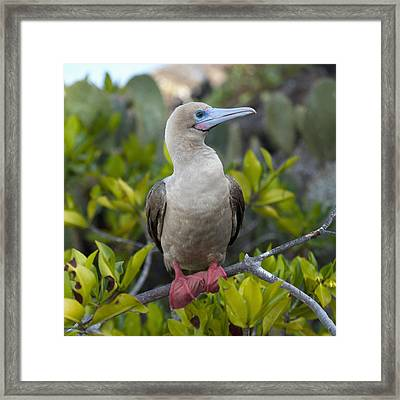 A Red-footed Booby Sula Sula Galapagos Framed Print