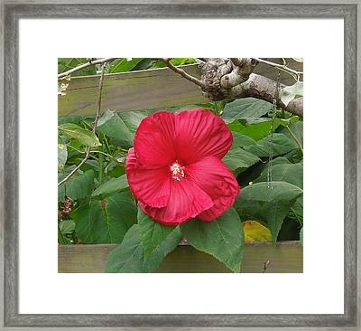 A Red Hibiscus Framed Print by Chad and Stacey Hall