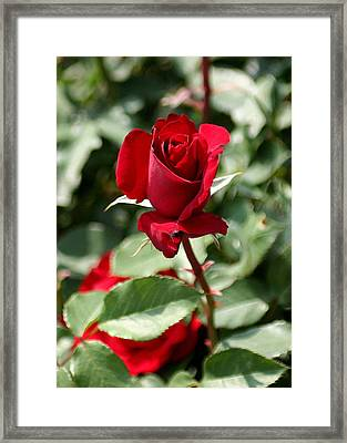 A Red Red Rose Framed Print
