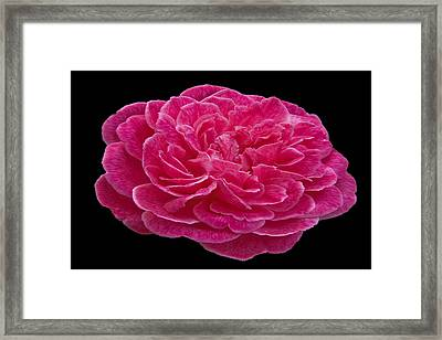 A Red Rose For You Framed Print by Dennis Dugan
