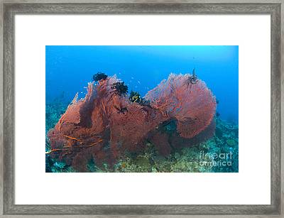 A Red Sea Fan With Crinoid Feather Framed Print