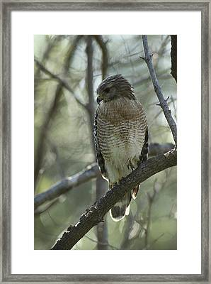 A Red Shouldered Hawk Perches In A Tree Framed Print by Klaus Nigge