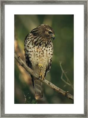A Red Shouldered Hawk Perches On A Tree Framed Print by Klaus Nigge