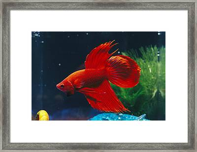 A Red Siamese Fighting Fish In An Framed Print