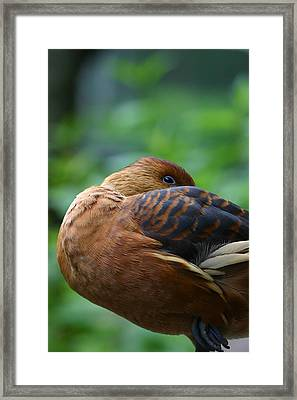 A Resting Fulvous Duck  Framed Print by Karol Livote