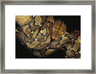 A Reticulated Python Wound Framed Print by Tim Laman