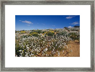 A Riot Of Wild Stock Flowers And Annual Framed Print by Jason Edwards