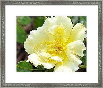 A Rose Is A Rose Rrp Framed Print