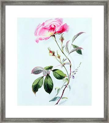 A Rose Framed Print by James Holland