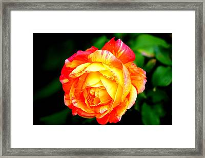 A Rose Framed Print by Jose Lopez