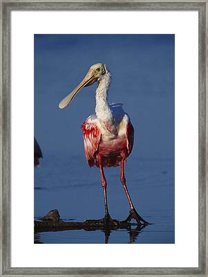 A Roseate Spoonbill Wades The Mud Framed Print by Klaus Nigge