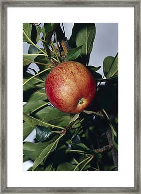 A Royal Gala Red Apple Growing Framed Print