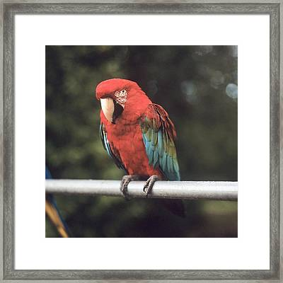 A Scarlet Macaw Perched On A Railing Framed Print by Brian Caissie