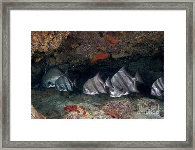A School Of Atlantic Spadefish Framed Print