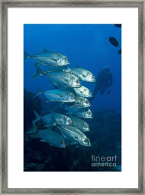 A School Of Bigeye Trevally, Papua New Framed Print by Steve Jones