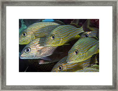 A School Of Blue Striped And White Framed Print
