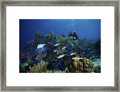 A School Of Blue Tang Feed On The Reefs Framed Print