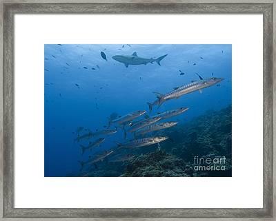 A School Of Pickhandle Barracuda, Papua Framed Print by Steve Jones