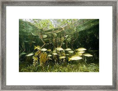 A School Of Snappers Shelters Among Framed Print by Tim Laman