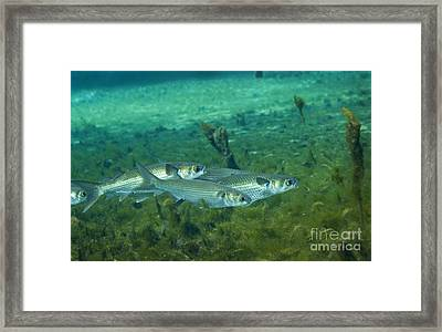 A School Of Striped Mullet Wim Framed Print