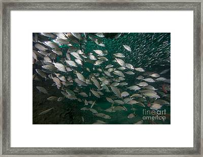 A School Of Tomtate And Glass Minnows Framed Print by Michael Wood
