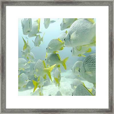 A School Of Yellow-tailed Grunt Fish Framed Print by Keith Levit