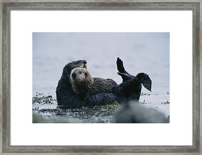 A Sea Otter Cradling Her Pup In A Kelp Framed Print by Joel Sartore