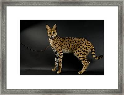 A Serval Leptailurus Serval Framed Print by Joel Sartore