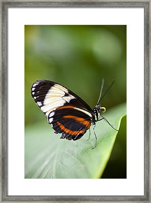 A Side View Of A Butterfly Framed Print by Taylor S. Kennedy