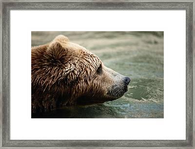A Side-view Of A Captive Kodiak Bear Framed Print by Tim Laman