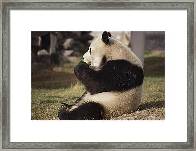 A Side View Of A Panda Bear Sitting Framed Print by Todd Gipstein
