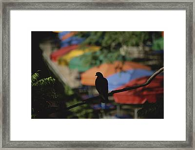 A Silhouetted Pigeon Surveys Framed Print