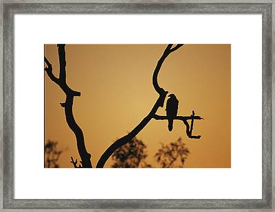 A Silhouetted Whistling Kite Perched Framed Print by Jason Edwards