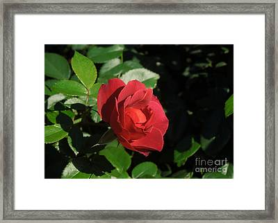 A Single Burgundy Rose Framed Print by Chad and Stacey Hall