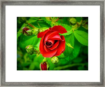 A Single Red Rose Blooming Framed Print by Chantal PhotoPix