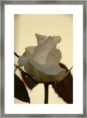 A Single White Rose Framed Print by Randy J Heath