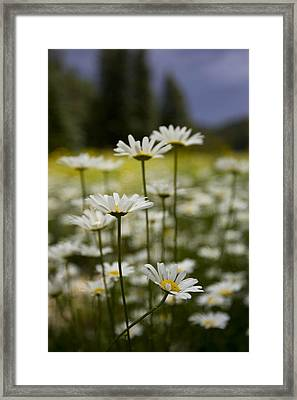 A Small Group Of Daisies Stands Framed Print