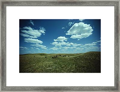 A Small Herd Of Bison Bison Bison Graze Framed Print by James P. Blair