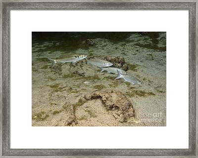 A Small School Of Grey Mullet Swim Framed Print by Terry Moore