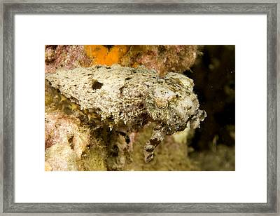 A Small Species Of Reef Cuttlefish Framed Print