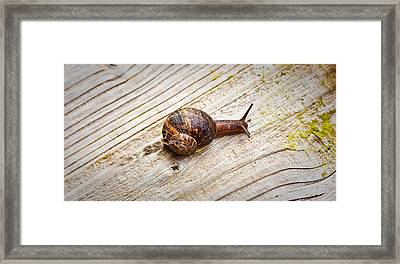 A Snail Sliding Across A Wooden Surface Framed Print by Tom Gowanlock
