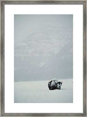 A Snow-covered American Bison Stands Framed Print by Michael S. Quinton