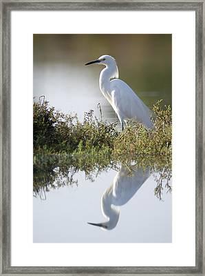 A Snowy Egret Egretta Thula In The Los Framed Print